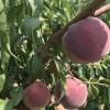 山西附近国庆红桃树苗一亩种多少合适