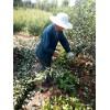 晚熟梨树苗种植基地 秋月梨树苗多少钱