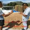 核桃树苗批发 出售核桃树苗价格 哪里卖嫁接核桃树苗
