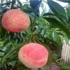 仓方早生桃树苗多少钱 金秋红桃树苗上市时间