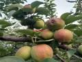 桃树育苗基地