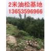 2米油松=2米油松价格=占地2米油松价格