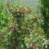 基地出售优质九叶青花椒苗 品种全 规格全  现挖现卖