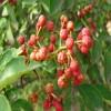 出售各品种无刺花椒苗 强盛苗木中心  品种齐全