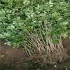 优质狮子头花椒苗长期供应中  一年生花椒苗 优质品种