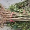 优质矮化香椿苗基地长期出售优质1-3公分香椿苗