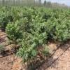 大棚香椿苗基地出售优质大棚香椿苗好成活易管理