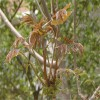 优质泰山红油香椿苗基地出售优质红油香椿苗