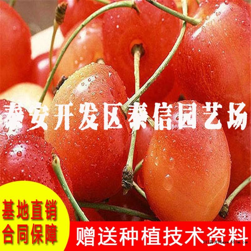 巨红樱桃树苗价格