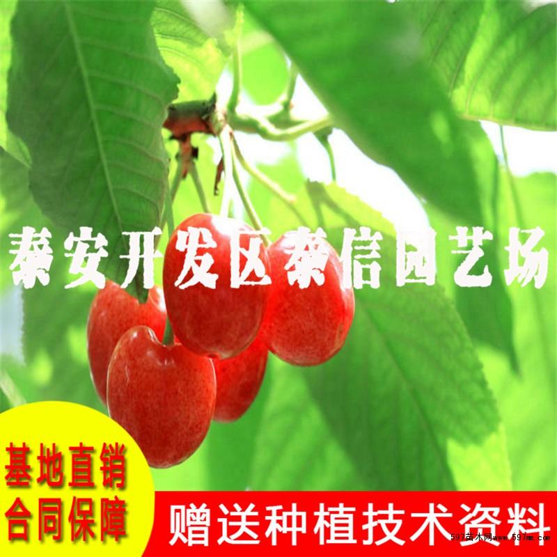 福星樱桃树苗价格