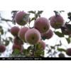 10公分+15公分+20公分+25公分占地苹果树价格