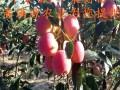 伏翠苹果苗