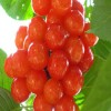 黑珍珠樱桃苗批发、3公分樱桃苗当年结果