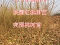 红不软桃树苗图片详细信息