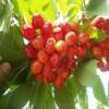 岱红樱桃苗早熟品种、白玉樱桃苗批发基地