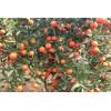 基地批发皮红肉脆细嫩化渣12月份成熟世纪红柑橘苗