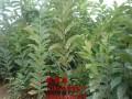 贵州板栗树苗多少钱一棵