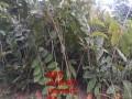 泰山薄壳板栗树苗新品种