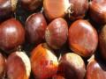 华丰板栗树苗新品种
