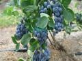奥尼尔蓝莓苗基地