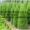山东临沂0.5-5米高侧柏绿化工程苗销售中心 种植基地