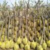 3公分杏树苗带土球装车价格