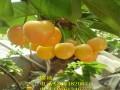 山东黄蜜大樱桃树苗