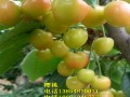 黄蜜樱桃树苗新品种