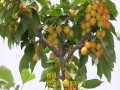 黄蜜樱桃苗 黄蜜大樱桃树苗新品种