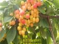 黄蜜樱桃树苗品种介绍