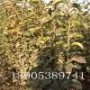 杏树苗、1公分杏树苗价格、1公分金太阳杏树多少钱