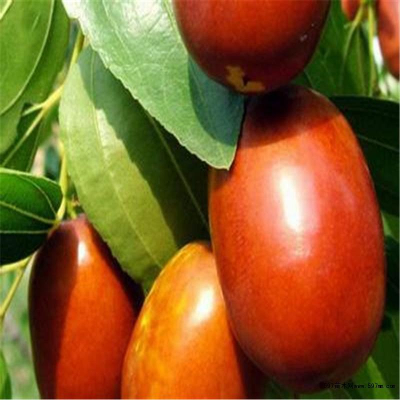 3公分枣树苗上市 金丝枣枣树苗成熟时间