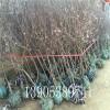 哪里有杏苗、杏树苗多少钱、3公分杏树