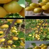 珍珠油杏苗、珍珠油杏树苗批发、4公分珍珠油杏树多少钱