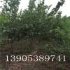珍珠油杏苗哪里有、2、3、4公分杏树批发、珍珠油杏树苗