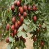 3公分枣树苗管理 金丝枣枣树苗市场价格