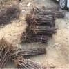 金丝4号枣树苗种植 龙须栆枣树苗多少钱一棵