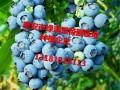 蓝莓苗批发种植
