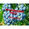 蓝莓苗介绍哪里有