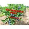 0.5以上蓝莓苗多少钱、蓝莓苗的品种