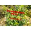山东蓝莓苗介绍 泰安绿满堂种植基地13181818113