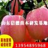 2公分苹果苗多少钱 红芬女士苹果苗
