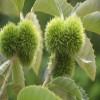 燕红板栗苗产量 石丰板栗苗成熟时间