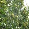 1公分板栗苗哪里有 板栗实生苗适应地区