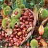 3公分板栗苗种植 3公分板栗苗哪里有卖