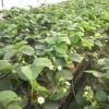 大棚丰香草莓草莓苗基地丰香草莓苗供应
