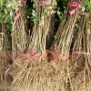 大红袍花椒苗价格大红袍花椒树苗多少钱一棵优质花椒树