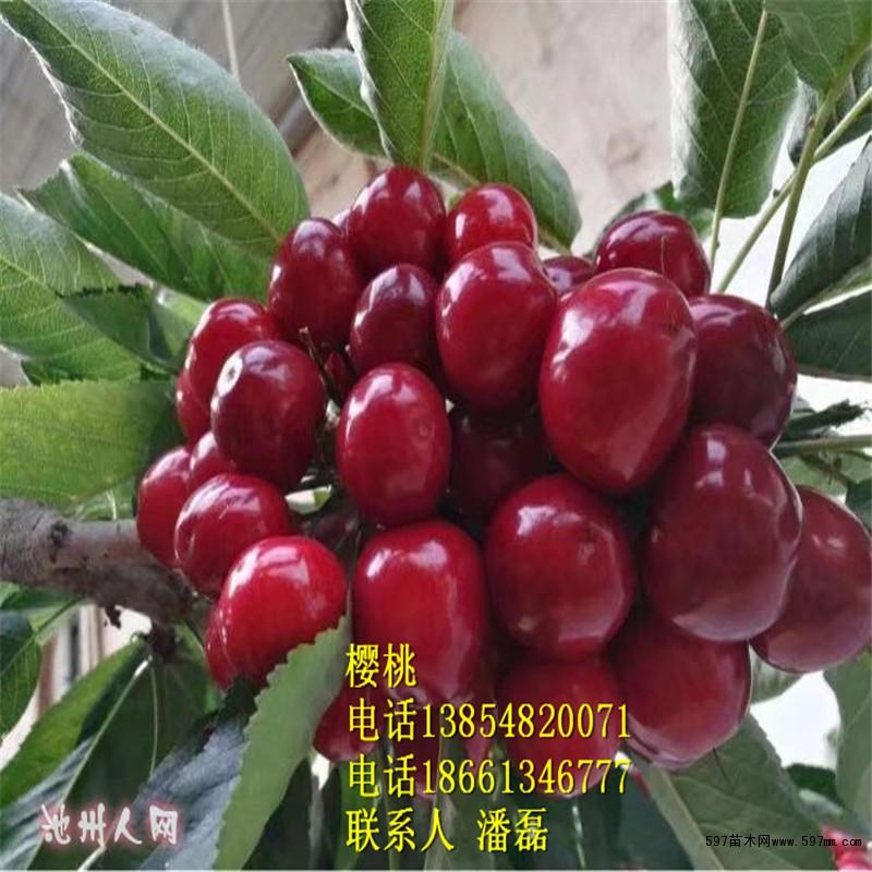 樱桃树苗什么品种最好?车厘子新品种樱桃树苗价格多少