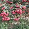 想买新品种甜山楂苗 新品种甜红山楂苗价格 出售甜红山楂苗