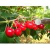 哪里有纯真俄罗斯8号大樱桃苗 哪里有耐寒的俄罗斯8号大樱桃苗